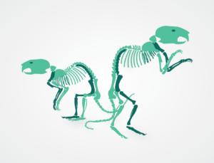 Illustration of two rat skeletons
