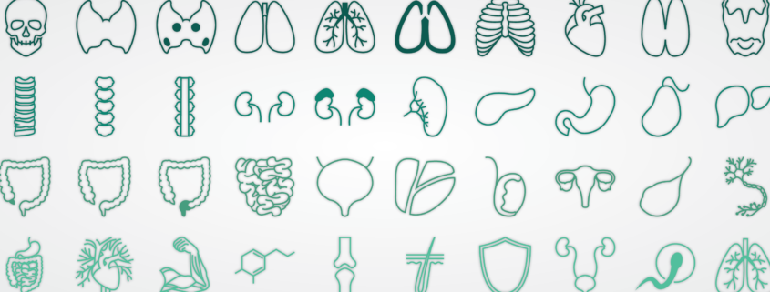 Vector illustrations of various organs within the human body
